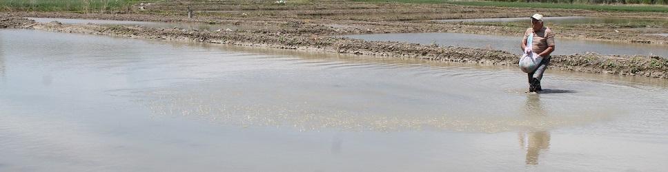 Tosya Pirinci toprakla buluşuyor